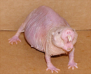 Naked Mole Rat With Purse